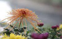 秋天的菊花